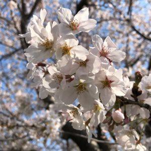 桜のアップ観察