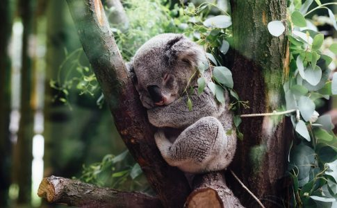 眠るコアラ