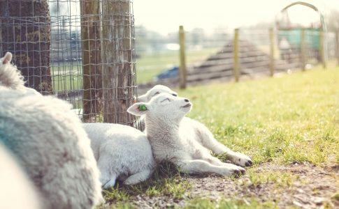 眠れない夜は羊を数えるなアイキャッチ